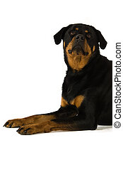 Rottweiler dog isolated on a white background while laid...