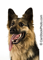 German Shepherd dog isolated on a white background close up