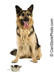 German Shepherd dog isolated on a white background while sat...