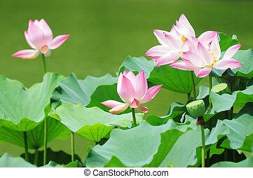 Lotus flowers blooming in pond