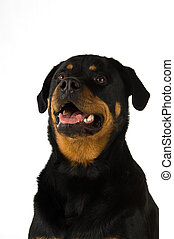 Rottweiler dog isolated on a white background close up