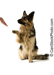 German Shepherd dog isolated on a white background giving...