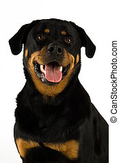 Rottweiler dog isolated on a white background while panting