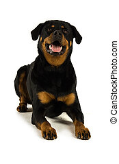 Rottweiler dog isolated on a white background