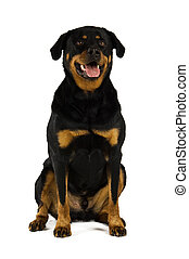 Rottweiler dog isolated on a white background while sitting