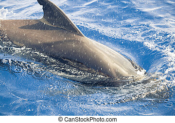 pilot whale in the ocean