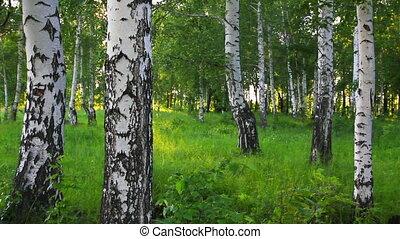 summer birch forest in Russia
