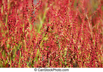 Plant background of Rumex acetosella - Plant background of...