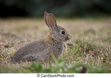 Cute Cottontail - a cute cottontail rabbit in grass