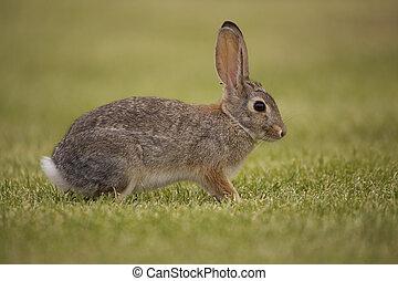 Alert Cottontail - an alert cottontail rabbit in green grass