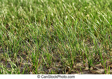 Sparse tufted grass of arid regions