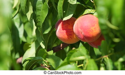 Ripe Peaches on the Tree - Two Ripe Peaches on the Tree,...