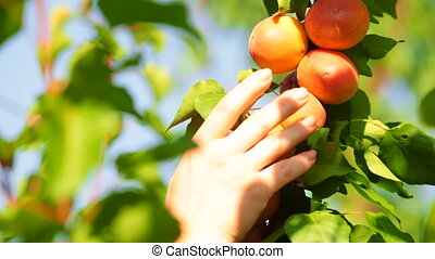 Picking Apricot from the Tree - Womans hand picking apricot...