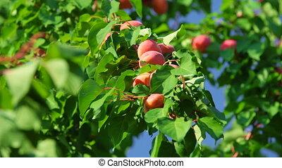 Ripe Apricots on Tree