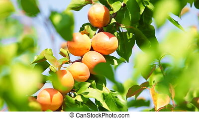 Apricots on Tree - Ripe apricots on tree in the orchard