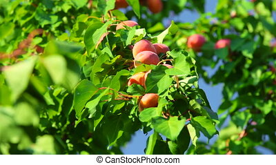 Harvest of Apricots - The harvest of apricots in the...
