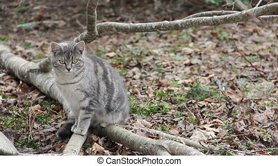 Feral Cat - Feral grey tabby, about 6-8 months old, sitting...