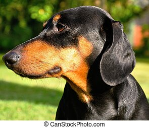Dachshund - Beautiful view of the small black dachshund