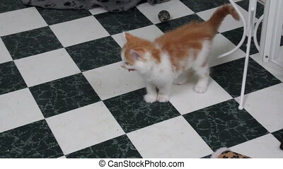 Kitten Panting - Orange and white Kitten panting while...