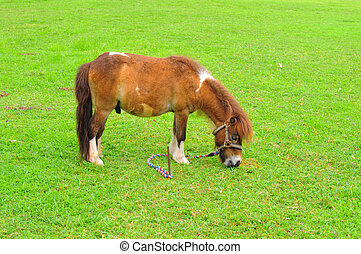 Miniature Horse eating grass on the field