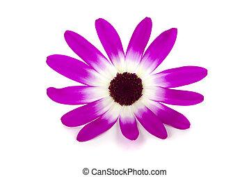 Daisy - Beautiful daisy