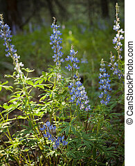 Silvery Lupine - Silvery lupine native to much of western...