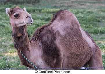 camelo, Pronto, Viagem