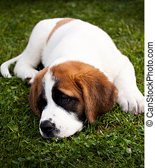 St. Bernard Puppy Lying in Grass