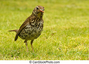 British Song Thrush with bread in its beak - British Song...