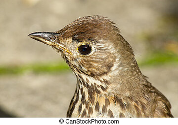 Young British Song Thrush Turdus philomelos close up - Young...