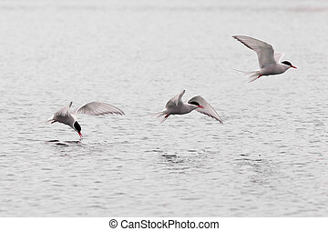 Stroboscopic study of flying Arctic Tern over lake -...