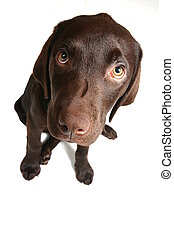 Choccy Lab - Wide Angle - Shot with a wide angle lens of a...
