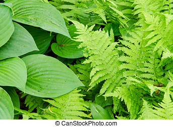 Hosta and Fern leave - Several green leaves of Hosta and...