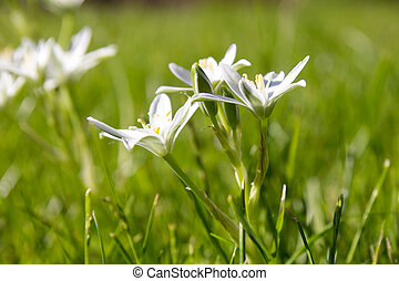 Spring flower Star of Bethlehem - Lily family spring flower...
