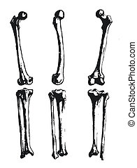 Hand drawn fibula and femur