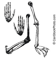 Hand drawn humerus, ulna and hand bones