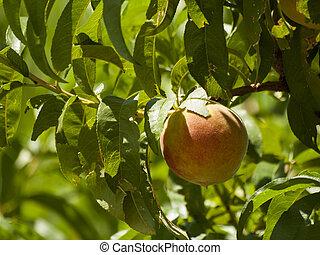 Peach Farm - Peach farm in Palisade, Colorado.