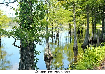 Cypress trunks - A stand of bald cypress trees growing in a...