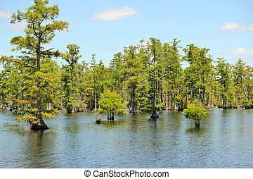 Cypress swamp 4 - A stand of bald cypress trees growing in a...