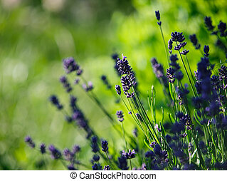 purple lavender flowers. close-up shot with beautiful bokeh.