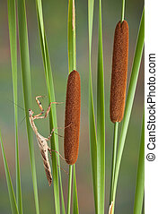 Mantis on cattails - An adult male dead leaf mantis is...