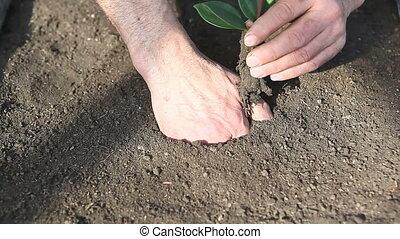 planting of little tree - man planting seedling in black...