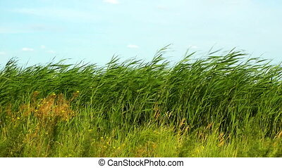 Reed in pond