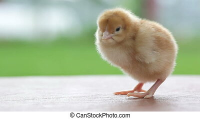 nodding tiny chicken - little yellow chicken standing and...