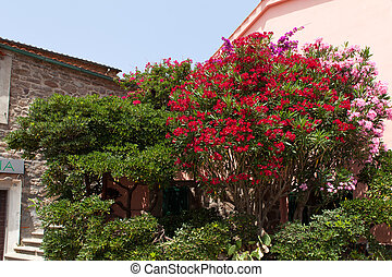 Nice Oleander Bushes, Capraia Island - Beautiful red and...