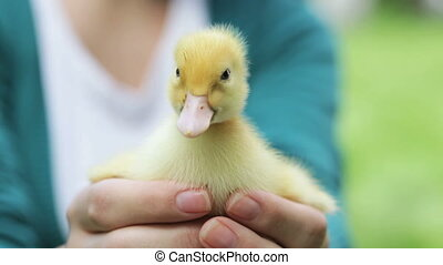 duckling in girlu2019s palms - young girl holding little...