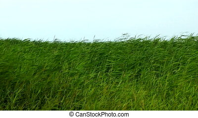 Reed in pond sway on a wind. High definition footage.