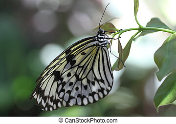 Paper Kite Butterfly - Paper Kite butterfly on a leaf