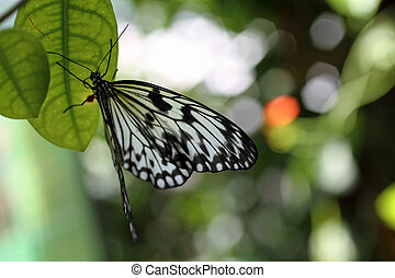 Paper Kite Butterfly on a Leaf - A Paper Kite Butterfly on a...