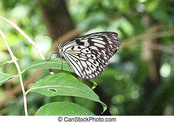 paper Kite Butterfly - Paper Kite Butterfly in a tree
